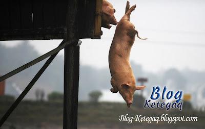 babi terjun