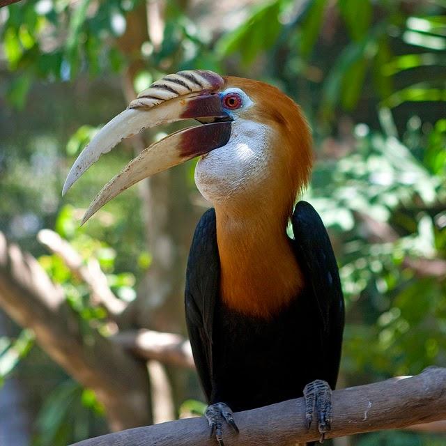 Hornbill Bird Images Hornbill Bird Gallery
