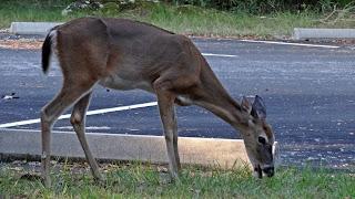 Reh auf dem Parkplatz O'Leon State Park, Florida USA