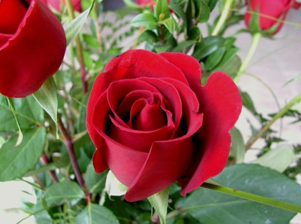 Bunga Mirip Mawar