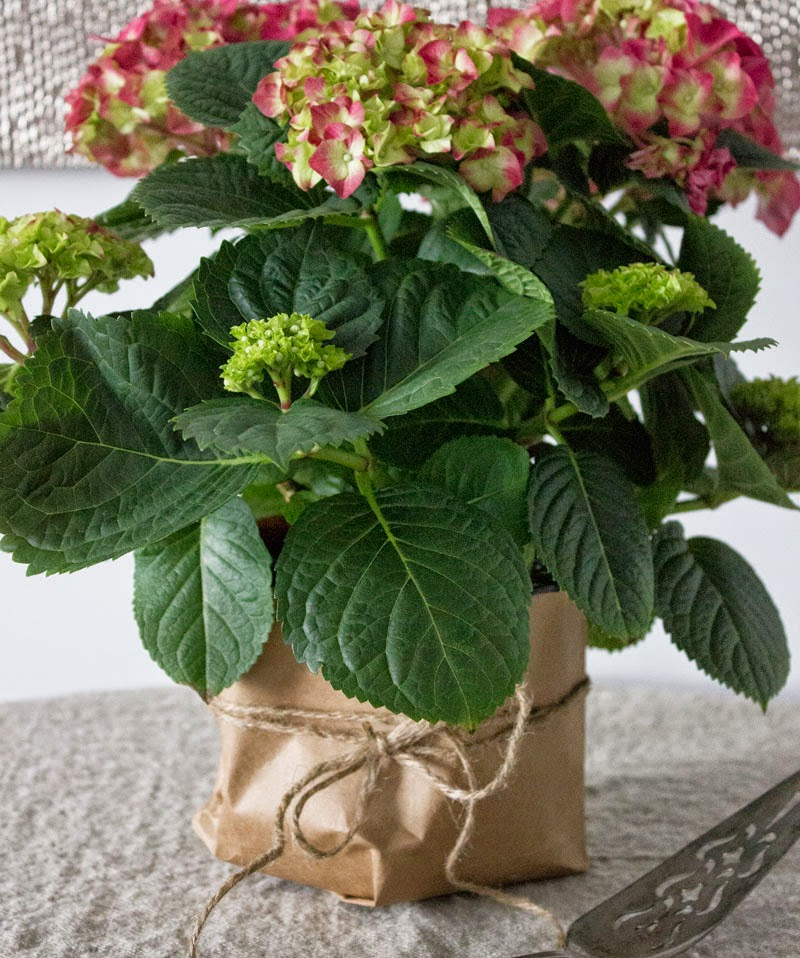 quick hydrangea pot refresh