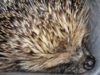 animal rescue hedgehog