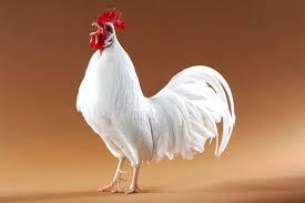 සුදු කුකුළා          White Cock