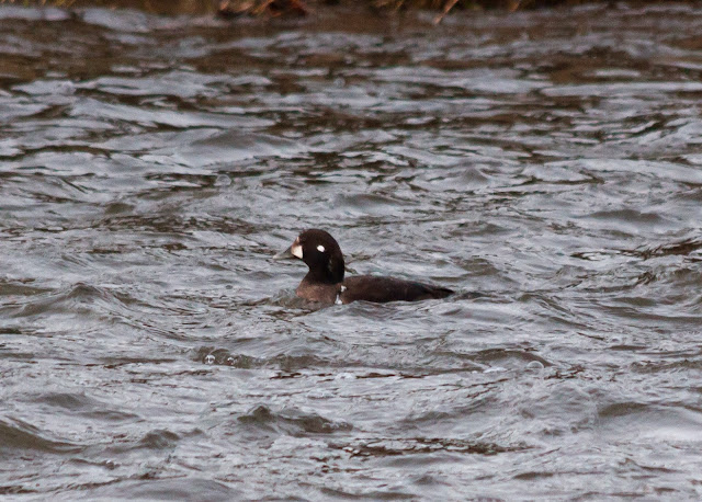 Harlequin Duck - River Don, Aberdeenshire