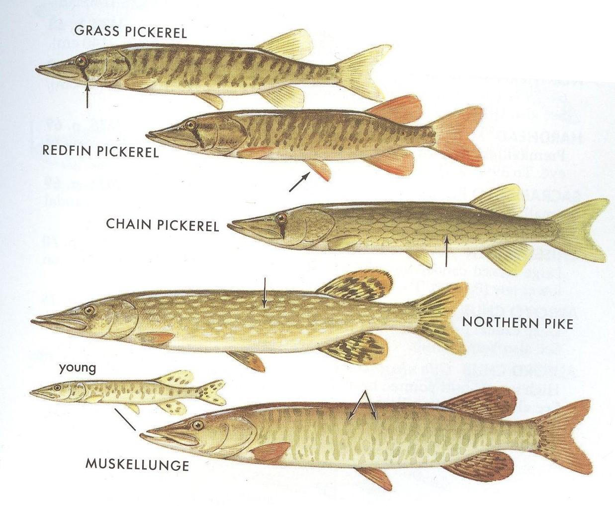 Freshwater fish nc - North Carolina Freshwater Fish Books Gamefish Of 200x300 North