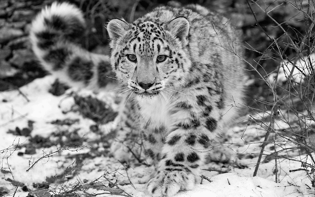 animals_leopard in snow_wallpaper_hd_1