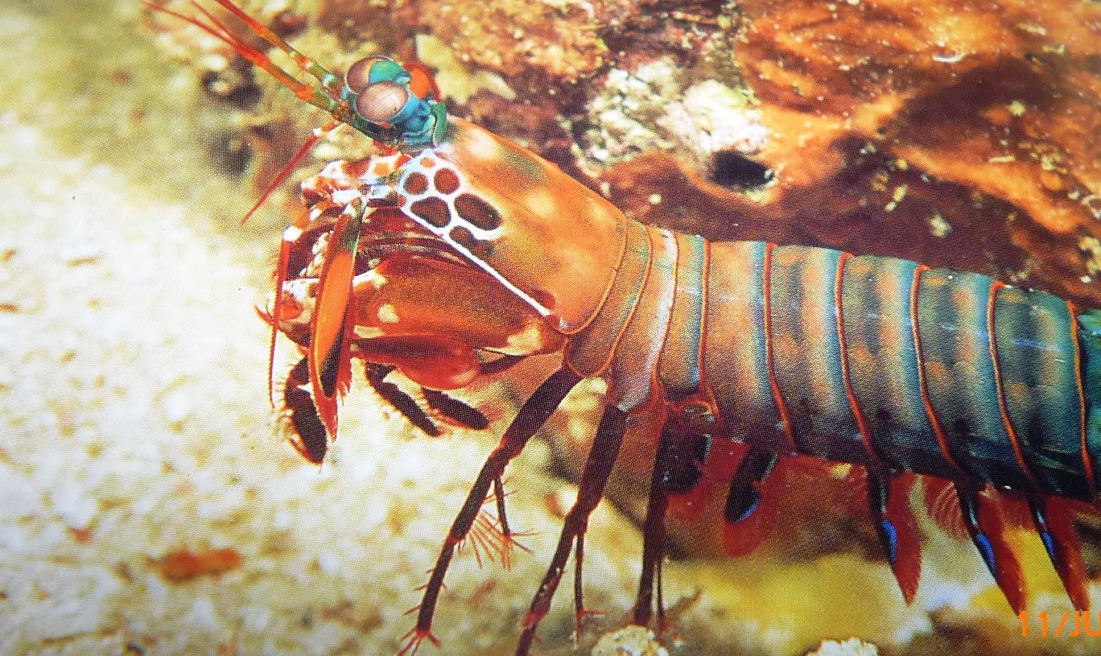 mantis shrimp essay This free environmental studies essay on the mantis shrimp is perfect for environmental studies students to use as an example.