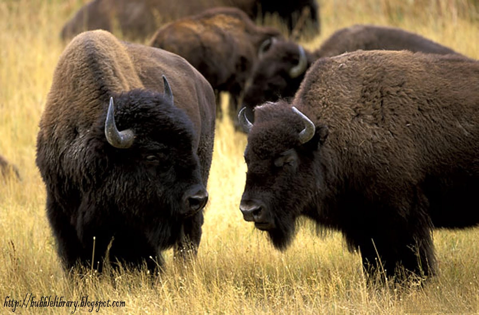 A Bison Eats World All Animals: Ame...