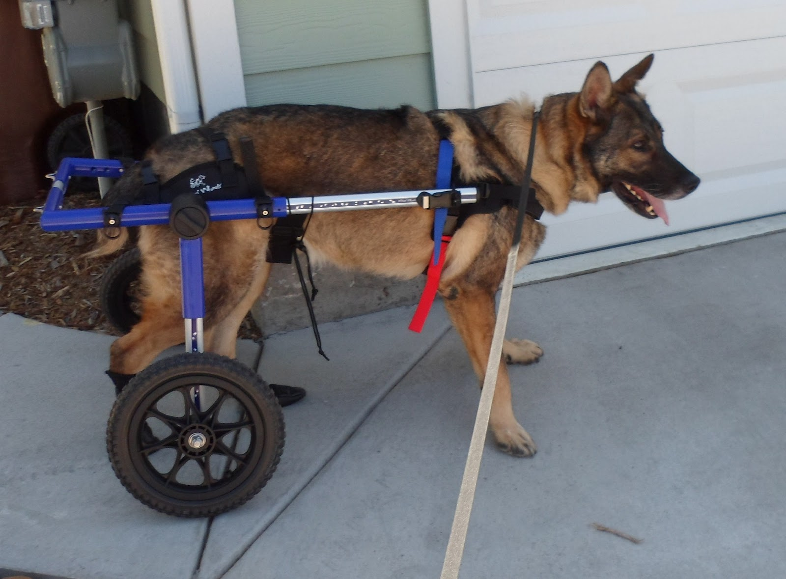 MWD Emir H323 in dog wheelchair