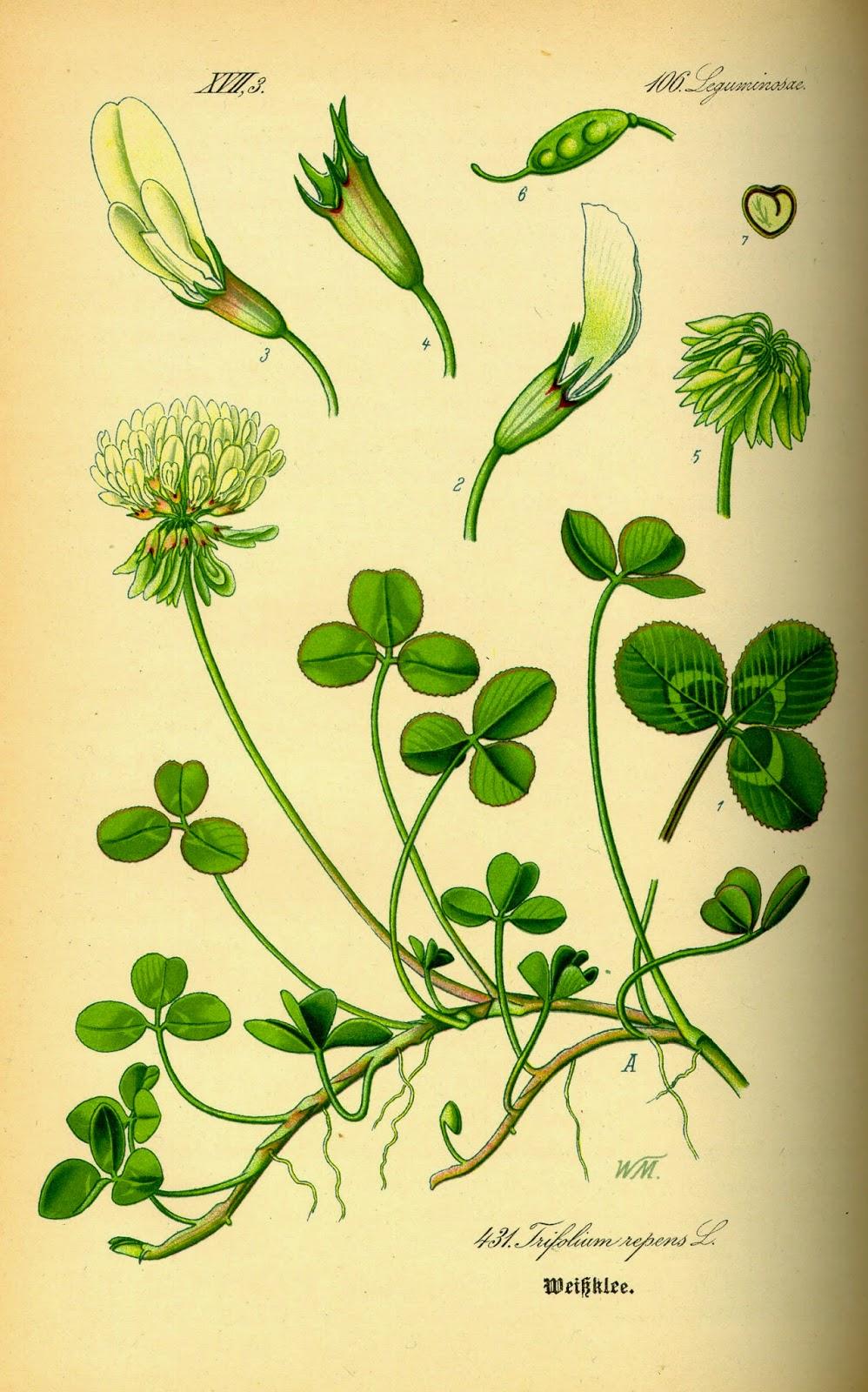 KONICZYNA BIAŁA Trifolium repens