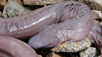 zakar manusia.ular berbentuk zakar