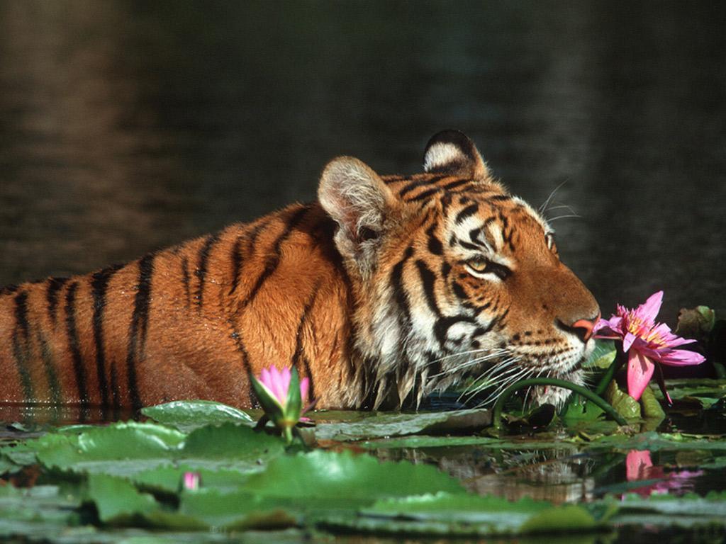 Bengal Tiger Wallpapers | Fun Animals Wiki, Videos ...