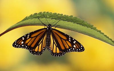 Ảnh đẹp của loài bướm