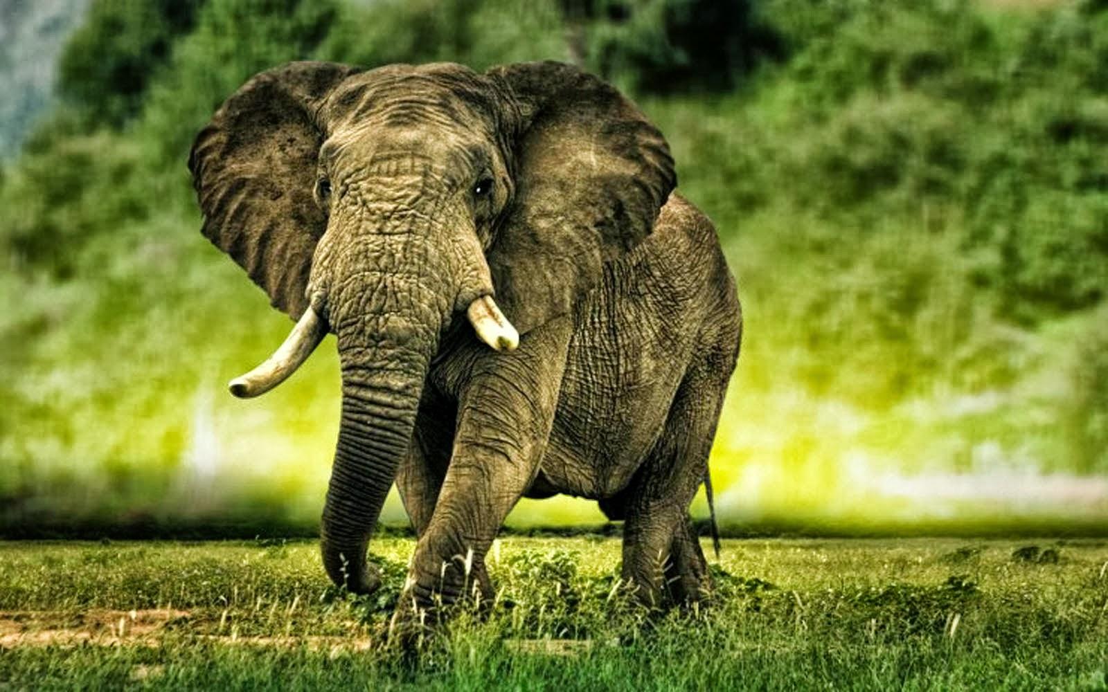Hd wallpaper elephant - African Elephants Hd Wallpapers