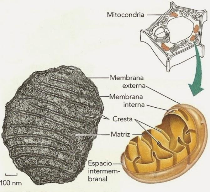 Mitocondria   Apuntes de Fisiología Vegetal