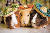 #6 Guinea Pigs Wallpaper