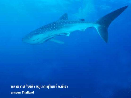 ฉลามวาฬ หมู่เกาะสุรินทร์ จังหวัดพังงา unseen Thailand