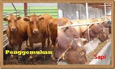 usaha ternak penggemukan sapi potong