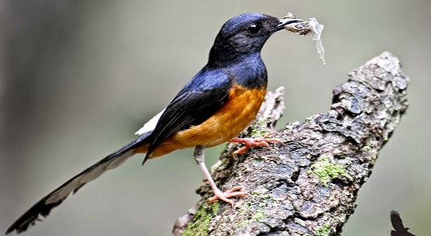 BelanjaBurung.com - Situs Jual Beli Burung Online