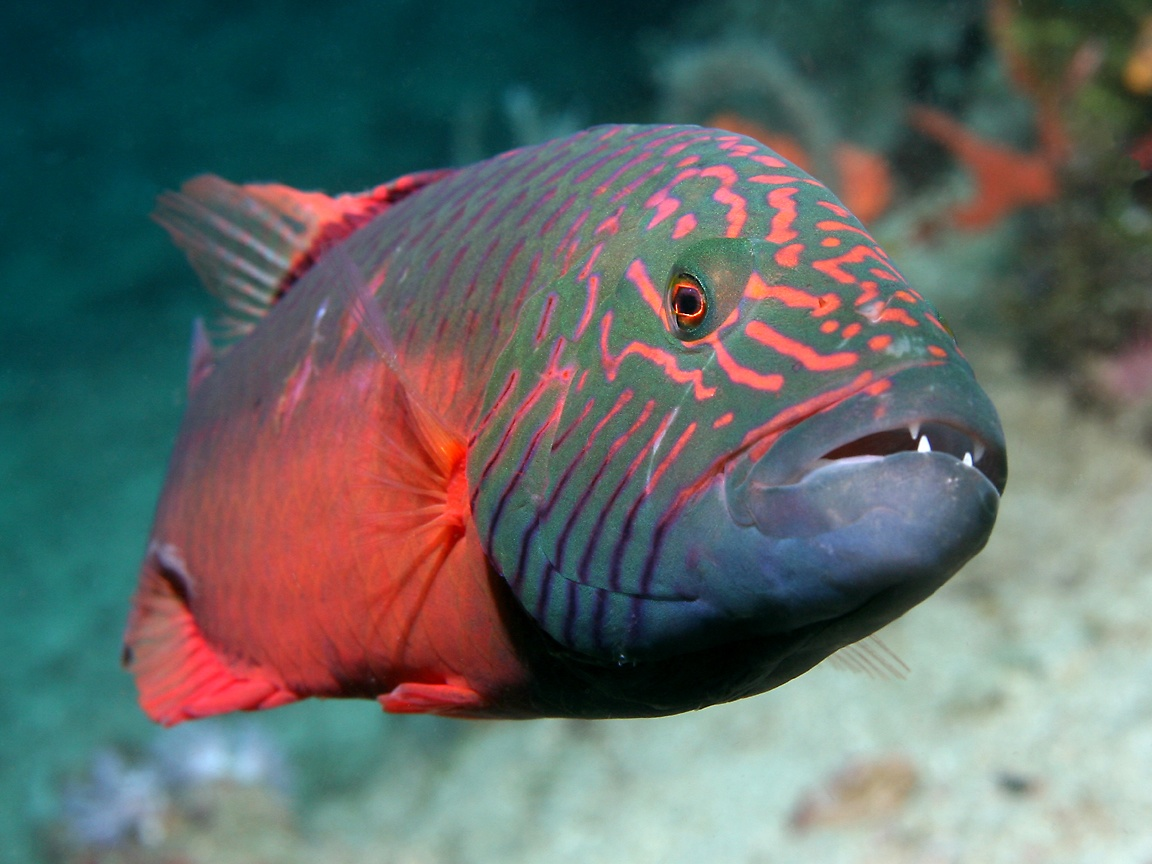 The Beauty Wrasse