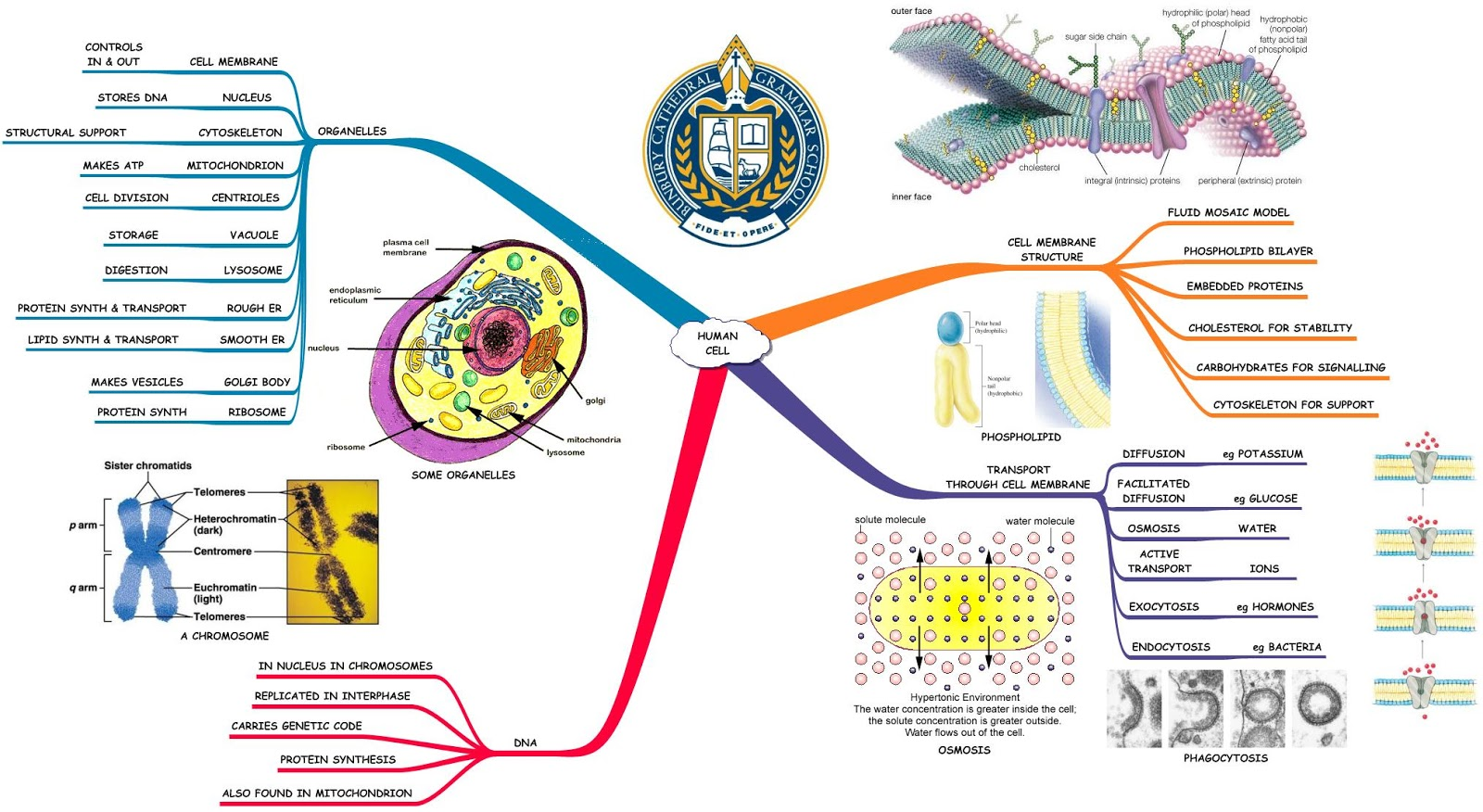 human cell mind map