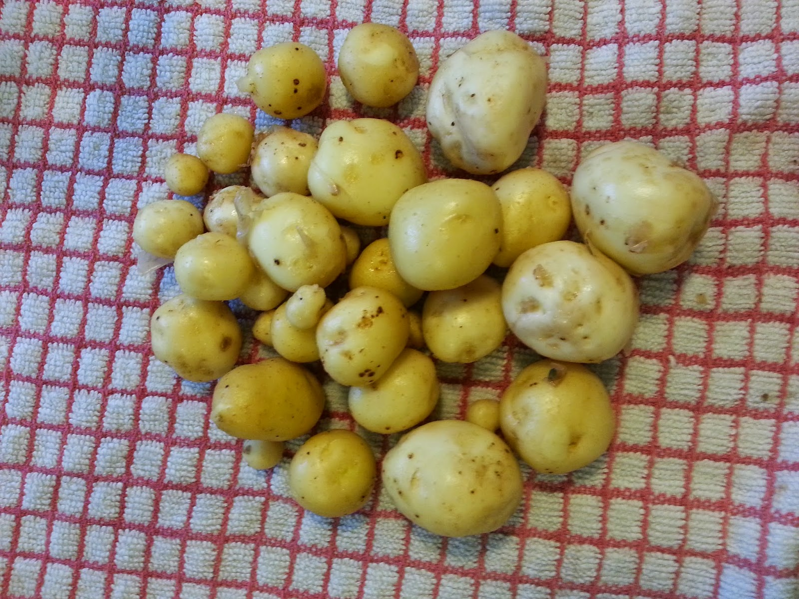 Freshly dug new potatoes on red and white check tablecloth