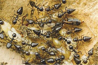 Kepakaran semut dalam menggunakan sesungut mereka untuk menyelamatkan diri ketika jatuh memberi idea kepada saintis untuk mencipta robot.