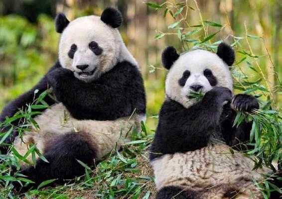 Kampung Kundur Hulu Negeri Sembilan Bekal Buluh Betong Panda Gergasi