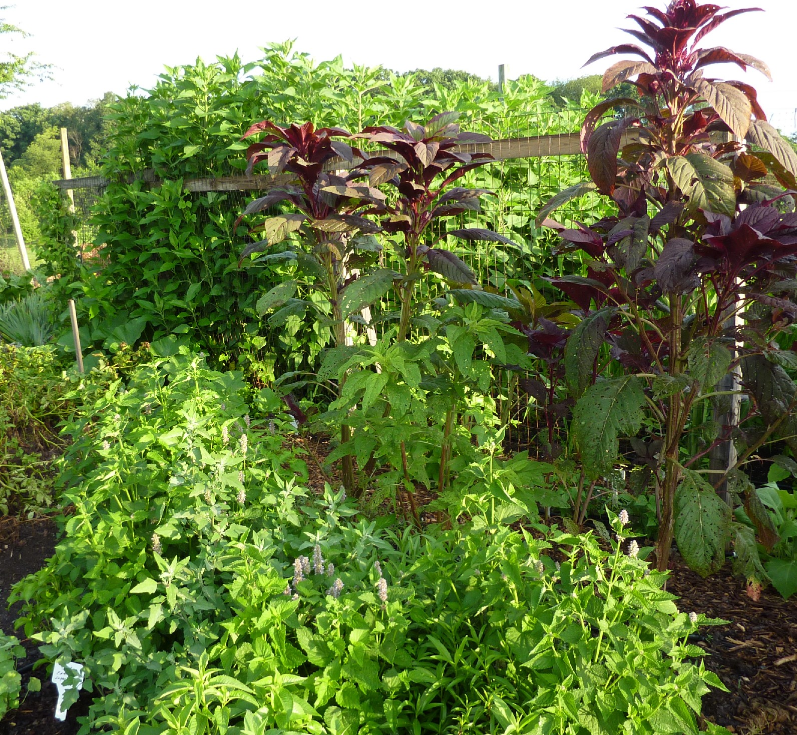 American herbs