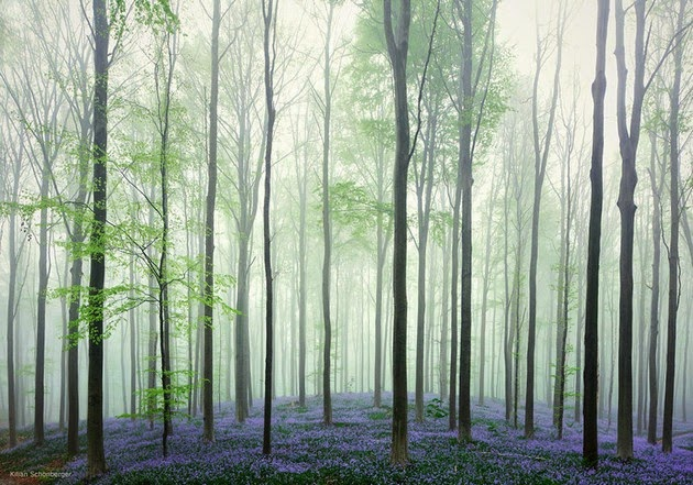 bluebell forest Belgium