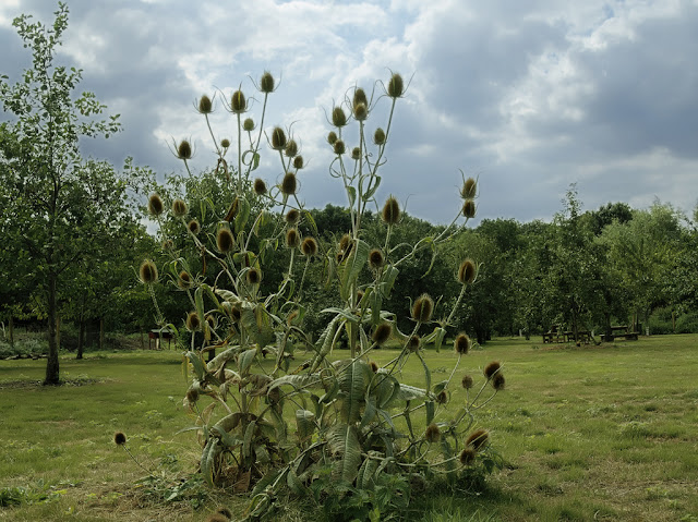 Teasel plant with orchard in background