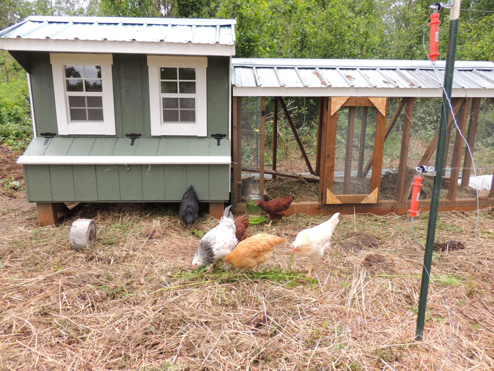 alaska bush life off road off grid raising chickens in alaska