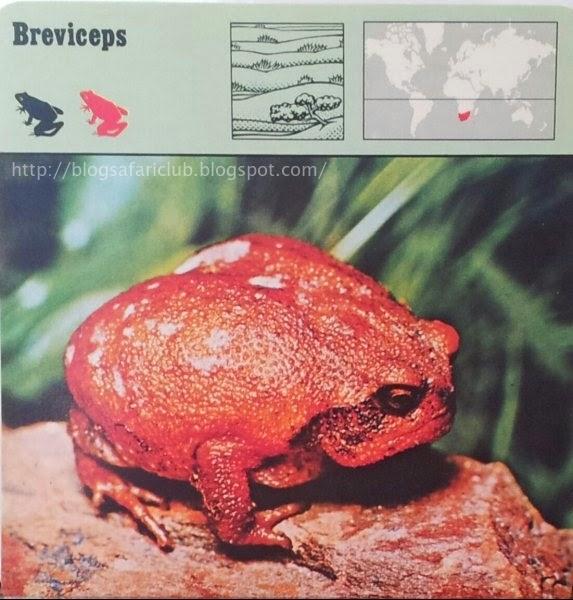 Blog Safari Club, el Breviceps, vivir en el suelo y lejos del agua es demasiado para una rana