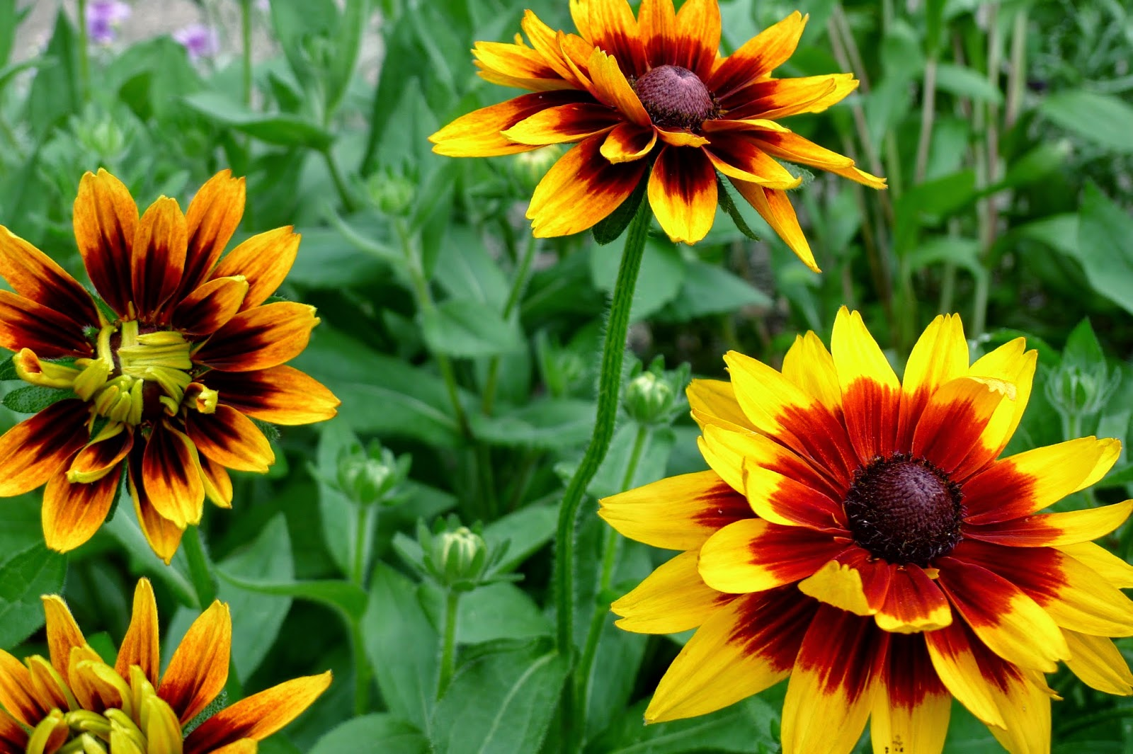 Less Noise, More Green Edible Landscape Project, Rudbeckia Cherokee Sunset, Rudbeckia hirta, perennial,cutting flower