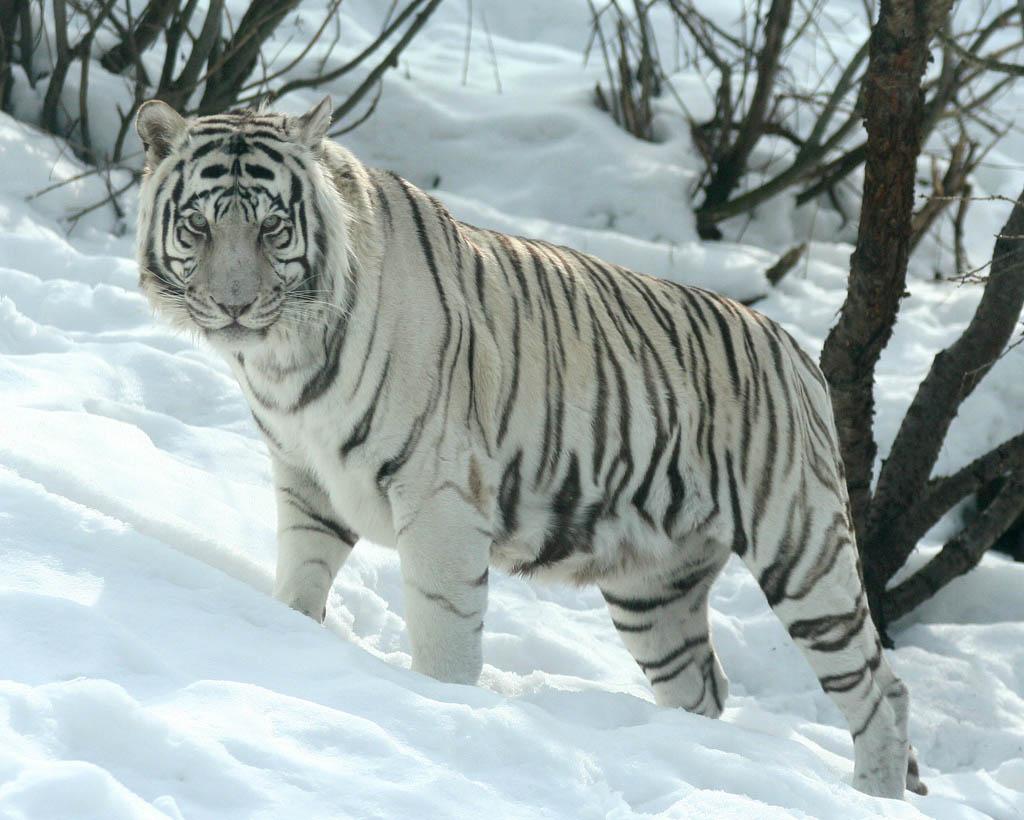 White siberian tiger in snow - photo#1