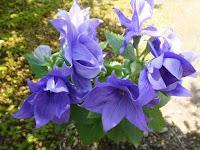 背は小さい八重のキキョウの花。