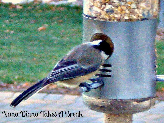 Alimentación de aves de invierno | Indian Trail Master Naturalist Capítulo