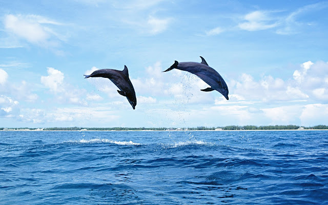 Photo of dolphins jumping high out of the water