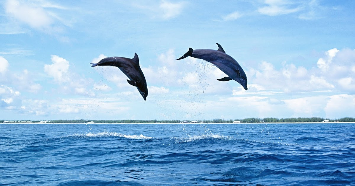 Dolphins jumping high out of the water | HD Animals Wallpapers