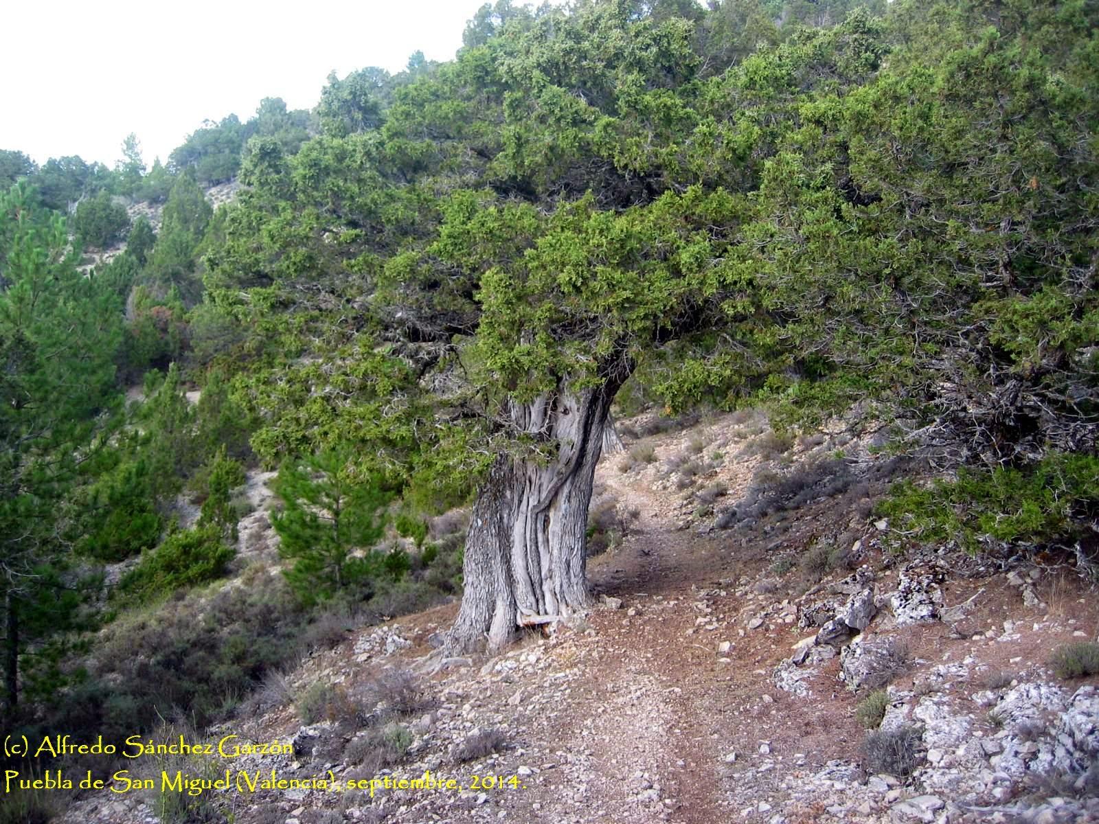 puebla-san-miguel-sabinas-juniperus thurifera