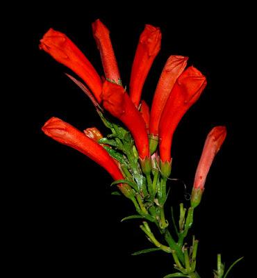 Flor cerrada noche