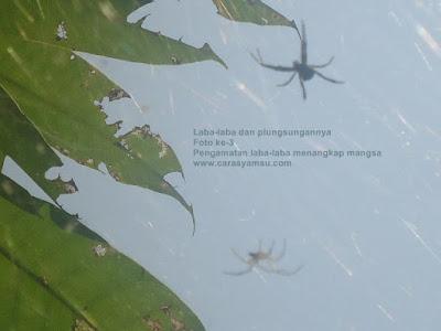 Gambar laba-laba pekarangan