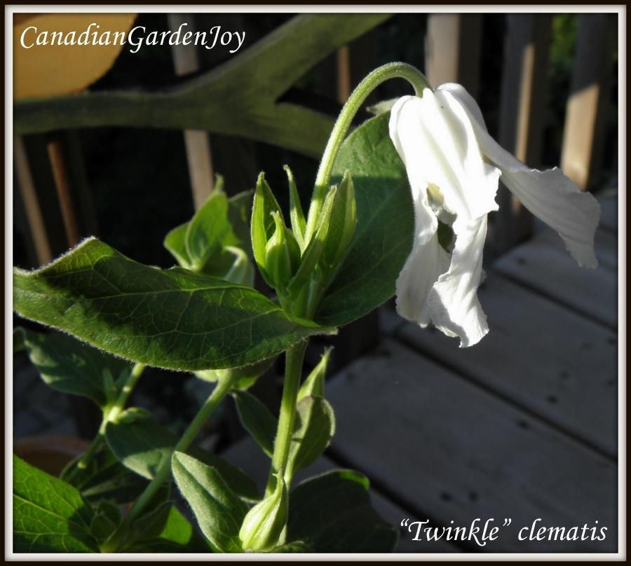 Canadiangardenjoy My Twinkle So Far