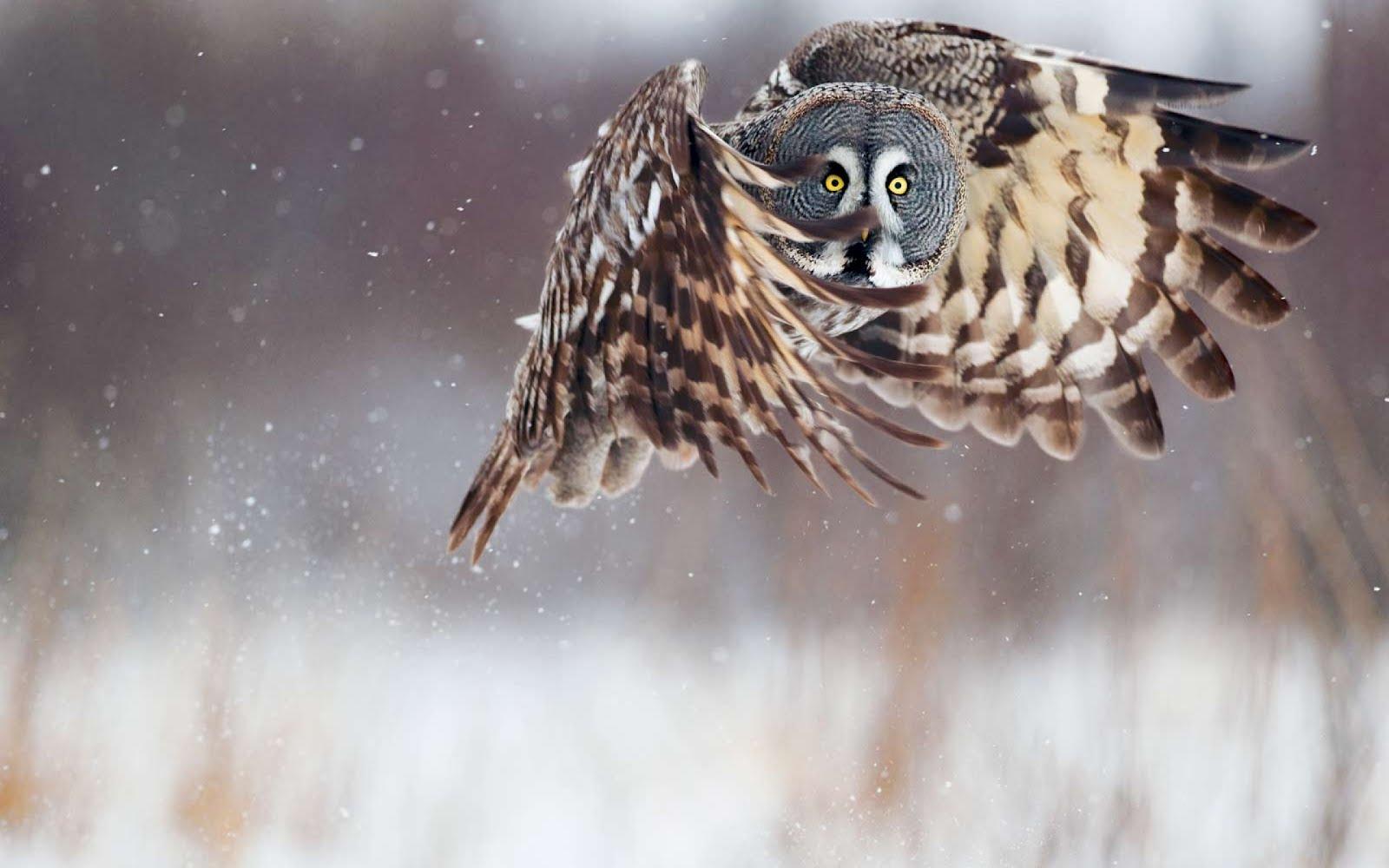 http://1.bp.blogspot.com/-UdFqVIW3DoI/T4l_ez6WoJI/AAAAAAAB0w0/ibOsDF4oszs/s1600/Owl-owl-bird-sven-zacek-national-geographic-2560x1600.jpg