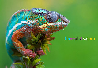 Why does a chameleon change color?