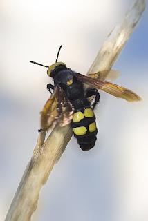 Para ampliar Megascolia maculata flavifrons (Fabricius 1775) Avispón hacer clic
