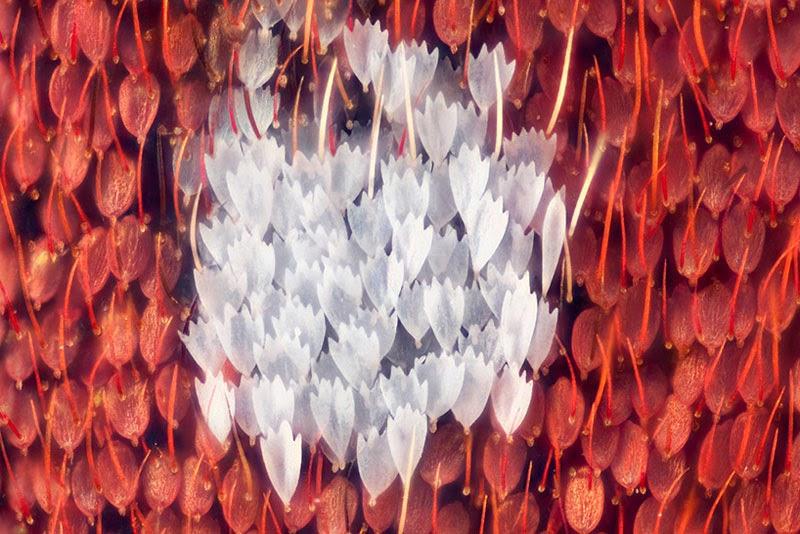 Micrografías de las alas de las mariposas por Linden Gledhill