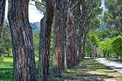 Fila de pinos