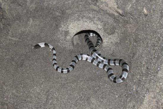 Snake in Tanah Lot Bali Indonesia