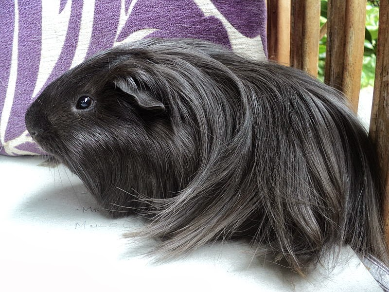 Lovely Cute Pets: GUINEA PIGS